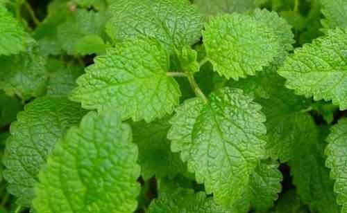 بادرنجبویه گیاهی برای در امان ماندن از هرگونه باکتری و ویروس